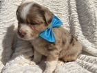 Australian Shepherd Puppy For Sale in EAST EARL, PA
