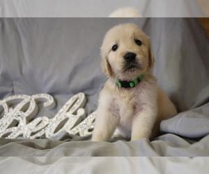 Golden Retriever Puppy for Sale in LOUISBURG, North Carolina USA