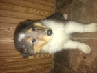 Collie Puppy For Sale in DANA, IN, USA