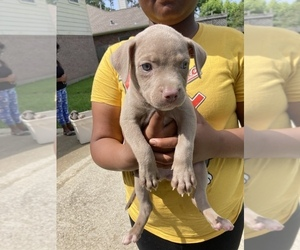 American Pit Bull Terrier Puppy for sale in ATASCOCITA, TX, USA