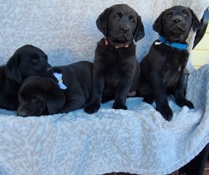 Labrador Retriever Puppy for sale in LINCOLN UNIV, PA, USA