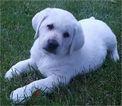 Labrador Retriever Puppy For Sale in MACON, MO