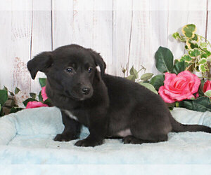 Labrador Retriever-Unknown Mix Puppy for sale in PENNS CREEK, PA, USA