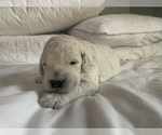 Puppy 1 Goldendoodle