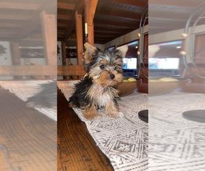 Yorkshire Terrier Puppy for sale in E PALO ALTO, CA, USA