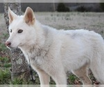Small #6 Wolf Hybrid