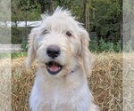 Small #2 Labradoodle-Poodle (Standard) Mix