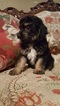 Aussiedoodle Puppy For Sale in AZLE, Texas,