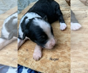 Australian Shepherd Puppy for sale in ARBA, IN, USA