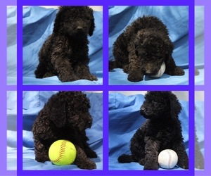 Goldendoodle-Poodle (Standard) Mix Puppy for sale in MATTOON, IL, USA