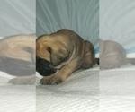 Small #33 Mastiff