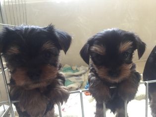 Yorkshire Terrier Puppy For Sale in DICKINSON, TX