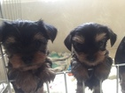 AKC Yorkie Puppies Teacup Size