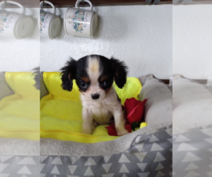 Cavalier King Charles Spaniel Puppy for sale in INDIANAPOLIS, IN, USA