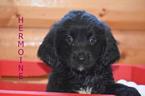 Puppy 0 Golden Mountain Dog