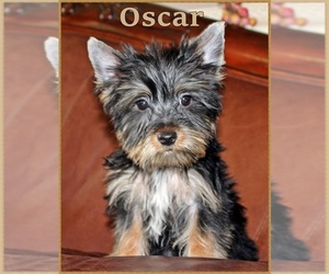 Yorkshire Terrier Puppy for sale in GOREVILLE, IL, USA
