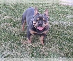 Father of the French Bulldog puppies born on 03/25/2021
