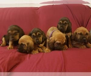 Bloodhound Puppy for sale in KENBRIDGE, VA, USA