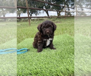Miniature Australian Shepherd-Poodle (Toy) Mix Puppy for Sale in EL CAMPO, Texas USA