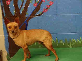 Chihuahua Dog For Adoption in Waco, TX