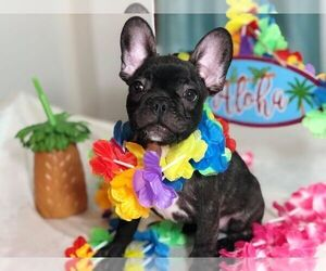 French Bulldog Puppy for sale in SPFLD, MA, USA