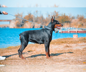 Doberman Pinscher Puppy for sale in Maglic, Vojvodina, Serbia