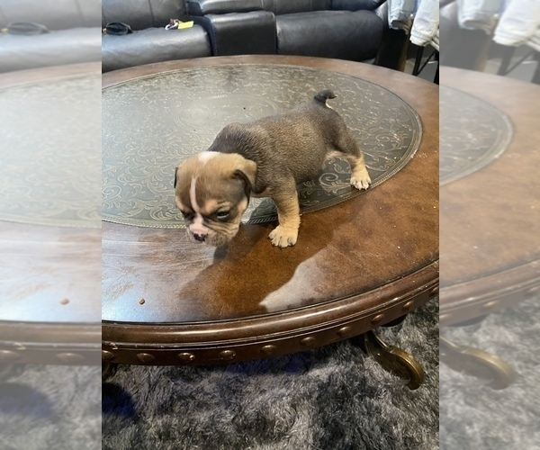 Medium Photo #3 American Bully Puppy For Sale in CORLISS, PA, USA
