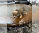 Small Photo #3 American Bully Puppy For Sale in CORLISS, PA, USA