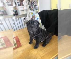 Chinese Shar-Pei Puppy for sale in EDGAR, WI, USA