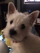 West Highland White Terrier Puppy For Sale in BUFFALO, NY, USA