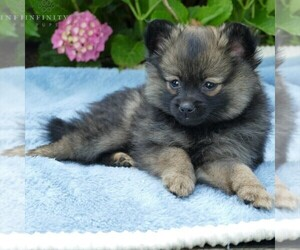 Pomeranian Puppy for sale in MILLERSTOWN, PA, USA