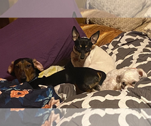 Rat Terrier Puppy for sale in PHILADELPHIA, PA, USA