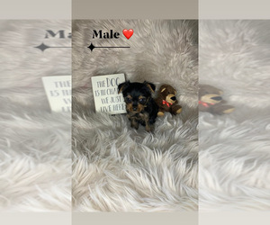 Yorkshire Terrier Puppy for Sale in HIALEAH, Florida USA