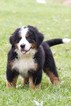 Bernese Mountain Dog Puppy For Sale in PLYMOUTH, OH, USA