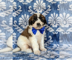Saint Berdoodle Puppy for sale in OXFORD, PA, USA