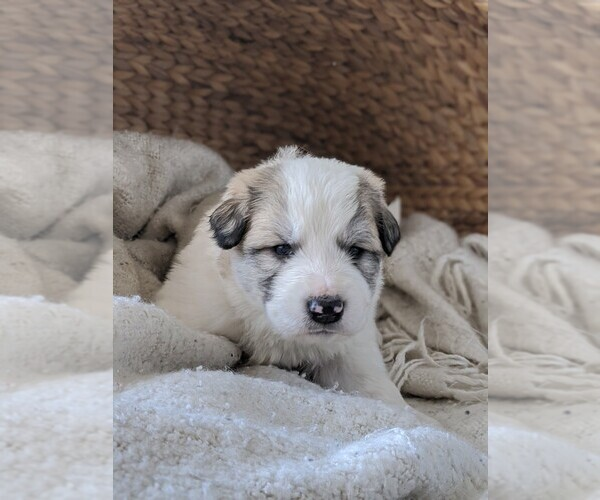 Medium Photo #60 Great Pyrenees Puppy For Sale in FALCON, CO, USA