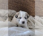 Small #59 Great Pyrenees
