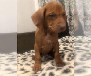 Rhodesian Ridgeback Puppy for Sale in GREENBRIER, Arkansas USA