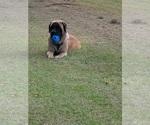 Small #6 Mastiff