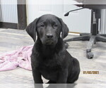 Small Photo #6 Labrador Retriever Puppy For Sale in SARCOXIE, MO, USA