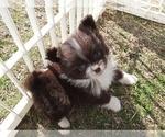 Puppy 2 Pomeranian