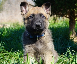 Belgian Malinois Puppy for Sale in WEST PLAINS, Missouri USA