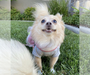Mother of the Pomeranian puppies born on 04/16/2021