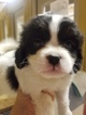 Cava-Chin Puppy For Sale in HENNIKER, NH, USA