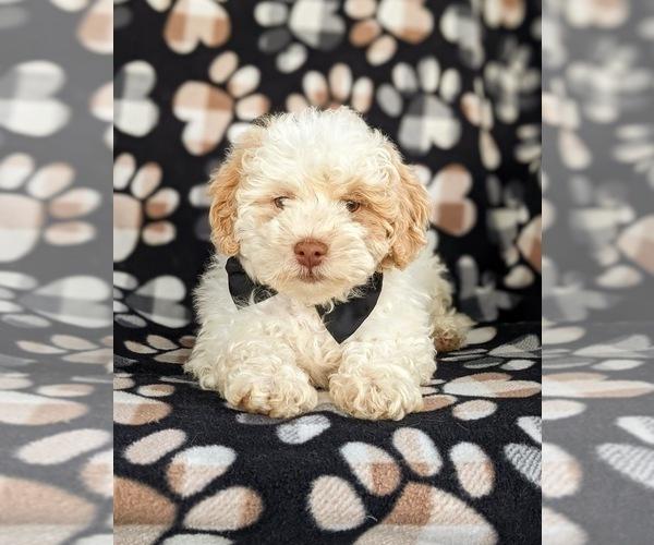 Medium Photo #6 Shih-Poo Puppy For Sale in LINCOLN UNIV, PA, USA