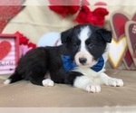 Small Photo #4 Border Sheepdog Puppy For Sale in LANCASTER, PA, USA