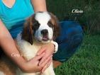 Saint Bernard Puppy For Sale in ELKLAND, MO,