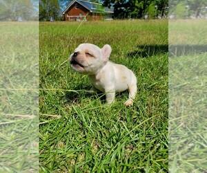 French Bulldog Puppy for sale in TIFTON, GA, USA