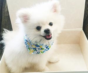 Pomeranian Puppy for Sale in BUENA PARK, California USA