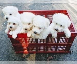 Bichon Frise Puppy for Sale in WINSTON-SALEM, North Carolina USA